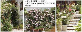 Blog201667rose1