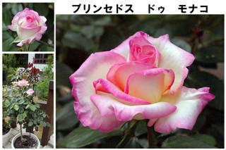 Blog201667rose11
