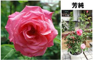 Blog201667rose13