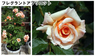 Blog201667rose14