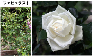 Blog201667rose18