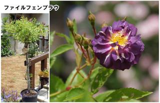 Blog201667rose19