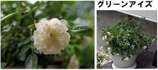 Blog201667rose4