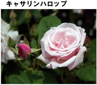 Blog201667rose6
