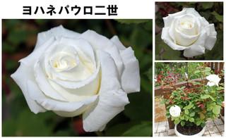 Blog201667rose9