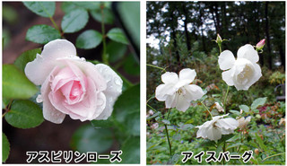 Blog20161022rose