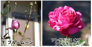 Blog20161022rose1