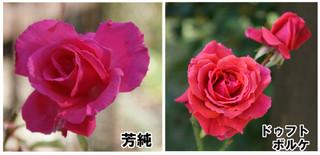 Blog20161022rose2